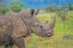 Male bull Cute White Rhino or Rhinoceros in a game reserve in So. Male bull Cute White Rhino or Rhinoceros in a nature wild reserve in South Africa royalty free stock photography
