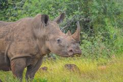 Male bull Cute White Rhino or Rhinoceros in a game reserve in So. Male bull Cute White Rhino or Rhinoceros in a nature wild reserve in South Africa stock photography