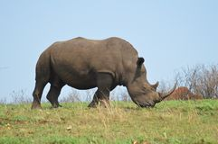 Male bull Cute White Rhino or Rhinoceros in a game reserve in South Africa royalty free stock photography