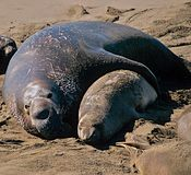 Male,bull and female,cow elephant seal Royalty Free Stock Image