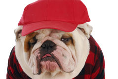 Male bulldog Royalty Free Stock Photo