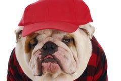 Male bulldog Royalty Free Stock Photo