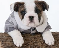 Male bulldog puppy. With paws on a wood log on white background Stock Photos