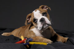 Male bulldog puppy Royalty Free Stock Photos