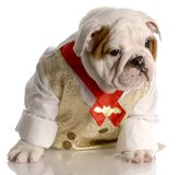 Male bulldog puppy in shirt and tie Royalty Free Stock Photo