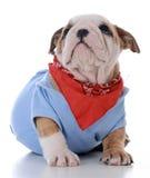 Male bulldog puppy Stock Photography