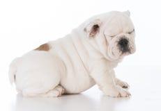 Male bulldog puppy Royalty Free Stock Photo