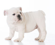 Male bulldog puppy Royalty Free Stock Images