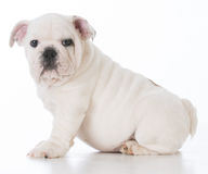Male bulldog puppy Royalty Free Stock Image
