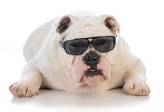 Male bulldog wearing sunglasses. On white background Royalty Free Stock Photos