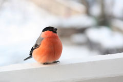 Male of bullfinch. Royalty Free Stock Photo