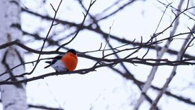 A male bullfinch bird sits on a birch tree branch and looks around. In the background dull sky stock footage