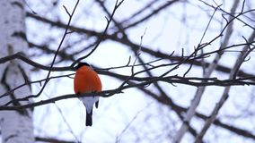 A male bullfinch bird sits on a birch tree branch and looks around. In the background dull sky stock video footage