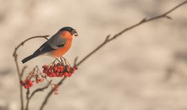 Male Bullfinch feeding on berries. Numerous species like this male Bullfinch (Pyrrhula pyrrhula) depend on wild berries likes the ones of the Rowan tree to Royalty Free Stock Photos