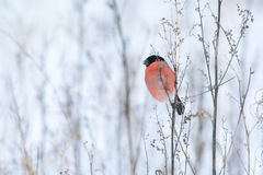 Male bullfinch Royalty Free Stock Images