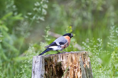 Male Bullfinch (Pyrrhula pyrrhula) Stock Photos