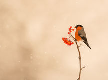 A male Bullfinch feeds on berries Stock Image