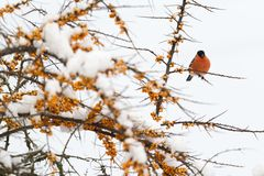 Male bullfinch on a sea buckthorn Stock Photos