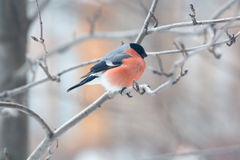 Male bullfinch,  is sitting on the branch Royalty Free Stock Photo