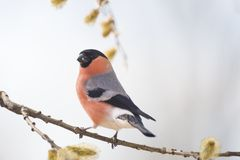 Male bullfinch on a willow branch. Male bullfinch on willow branch Royalty Free Stock Image