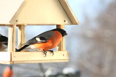 Male bullfinch. Winter day. Male bullfinch in feed. Winter day Stock Images