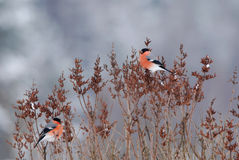 Male bullfinches. Two male bullfinches on a lilac bush Stock Image