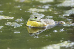 Male Bullfrog Stock Photography