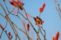 Male Bullock`s Oriole in a flowering Ocotillo in spring in the Sonoran Desert of southern Arizona. Male Bullock`s Oriole perches at dawn in a flowering Ocotillo royalty free stock photo