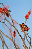 Male Bullock`s Oriole rests in a flowering Ocotillo in spring in Arizona`s Sonoran Desert. Male Bullock`s Oriole perches at dawn in a flowering Ocotillo at Organ royalty free stock image