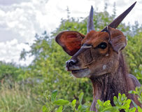 Male Bush Buck Stock Photos