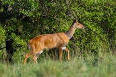 Male Bushbuck, Masai Mara, Kenya Stock Photography