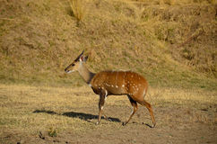 Male bushbuck (Tragelaphus sylvaticus) Stock Photo