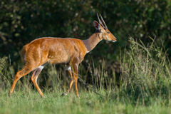 Male Bushbuck Walking, Masai Mara, Kenya Royalty Free Stock Photography