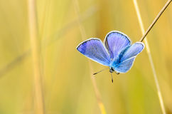 The male butterfly with blue wings. Sitting in the grass on a yellow background Stock Photos