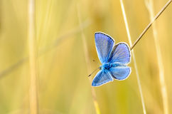 The male butterfly with blue wings. Sitting in the grass on a yellow background Royalty Free Stock Photo