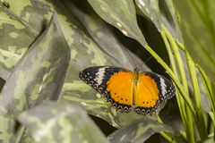 Male Butterfly:  Leopard Lacewing on Leaf Royalty Free Stock Photography