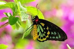 Male Cairns Birdwing Butterfly Royalty Free Stock Photo
