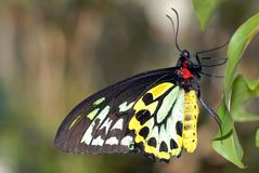 Male Cairns Birdwing Butterfly. Ornithoptera euphorion Stock Photo