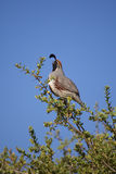 Male California Quail Calling Royalty Free Stock Images