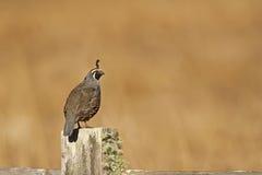 Male California quail, Callipepla californica, on a fence post Stock Photo