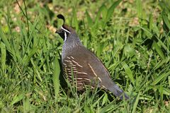 Male California Quail callipepla californica. Single male California Quail, callipepla californica, on ground in rough grassy area on hillside among scrubland in Royalty Free Stock Photos