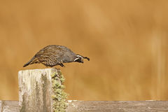 Male California quail, Callipepla californica, stepping off fenc Royalty Free Stock Images