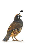Male California Quail Stock Images