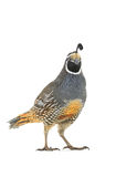 Male California Quail Stock Photo