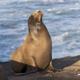 A male California Sea Lion basking in the sun - San Diego, Calif Royalty Free Stock Image