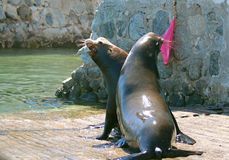 Male California Sea Lions fighting on the boat launch in Cabo San Lucas MEX Royalty Free Stock Photography