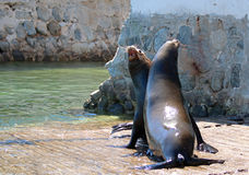 Male California Sea Lions fighting on the marina boat launch in Cabo San Lucas Baja MEX. Male California Sea Lions fighting over food on the marina boat launch Stock Photo