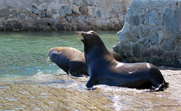 Male California Sea Lions fighting on the marina boat launch in Cabo San Lucas Baja Mexico BCS Stock Photography
