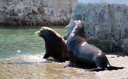 Male California Sea Lions fighting over food on the marina boat launch in Cabo San Lucas Baja MEX Stock Images