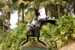 Male Californian Sealion. A male Californian Sealion standing on its front flipper against a background of palms Royalty Free Stock Photography